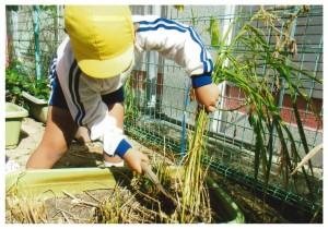 きりん組稲刈り1